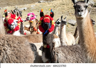 Vicuñas in Huaytapallana Snowy - Huancayo, Peru