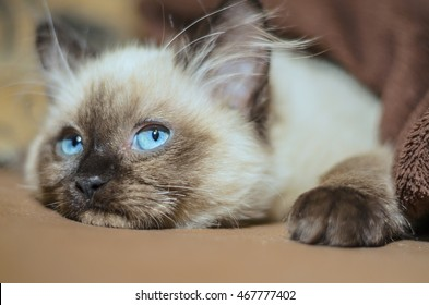 huba, the ragdoll cat