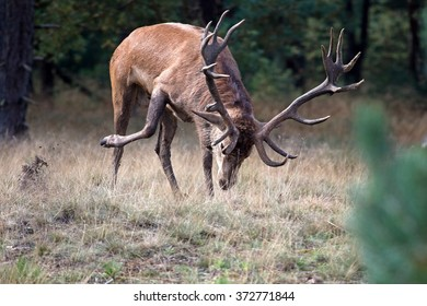 Hubertus rutted red deer on the Veluwe, Netherlands