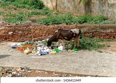 Hubli Karnataka India Jun 6 2019 Cow eating plastic