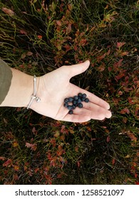 Huckleberries gathered in forest are on the woman's hand.