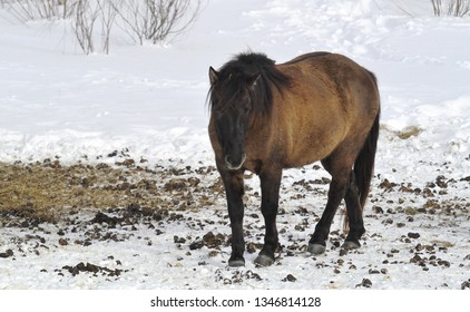 The Hucul or Carpathian is a pony or small horse breed originally from the Carpathian Mountains, National Park Bieszczady, Poland