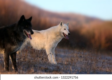 The Hudson Bay wolf (Canis lupus hudsonicus) Arctic wolf (Canis lupus arctos),subspecies of the Canis lupus,also the grey wolf. Young female in a frosty morning and in foreground Timber wolf.
