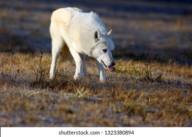 The Hudson Bay wolf (Canis lupus hudsonicus) subspecies of the wolf (Canis lupus) also known as the grey/gray wolf or arctic wolf. Young female in a frosty morning with an outlined tongue.