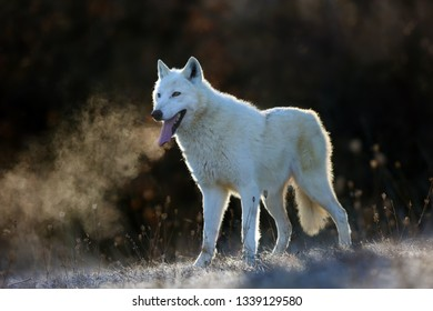 The Hudson Bay wolf (Canis lupus hudsonicus) subspecies of the wolf (Canis lupus) also known as the grey/gray  or arctic wolf. Young female in a frosty morning. Arctic wolf with steam at muzzle.
