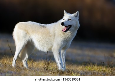The Hudson Bay wolf (Canis lupus hudsonicus) subspecies of the wolf (Canis lupus) also known as the grey/gray wolf or arctic wolf. Young female in a frosty morning.