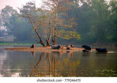 HUE, VIETNAM, 19 JUNE 2017 cool water buffalo, river, suburban Hue, Vietnam