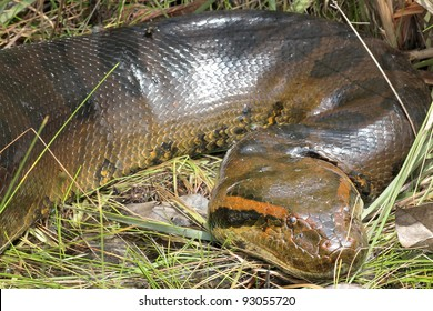 A HUGE (6 metre, ~20 feet) Green Anaconda (Eunectes murinus) in the WILD in the Peruvian Amazon (photographed while canoeing in a swamp)