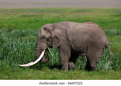 Huge African elephant bull in the Ngorongoro Crater, Tanzania