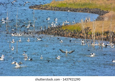 Huge aggregation of flocking waterbirds - mainly little black cormorants and Australian pelicans - both fish-eating species, on an impoundment, Lake Wivenhoe, southeast Queensland, Australia.