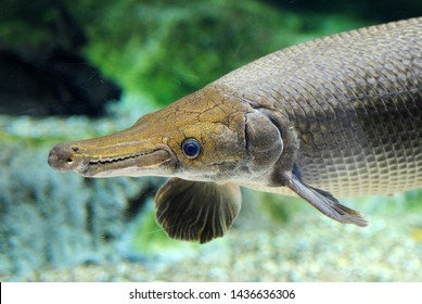 Huge Alligator Gar Close Up