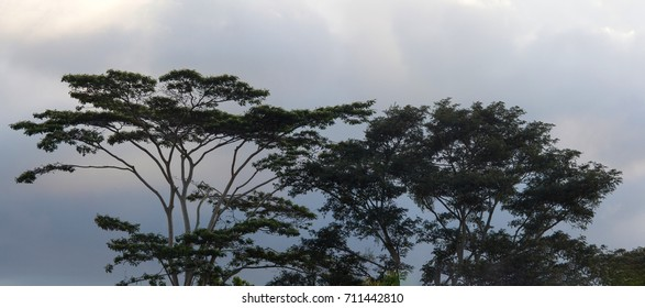 Huge amazing tree on the background of an evening cloudy sky, Bali Island, Indonesia
