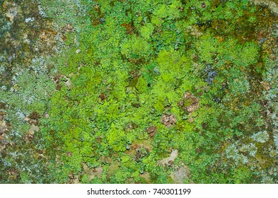 A huge amount of juicy green lichen on a mossy concrete wall texture.
