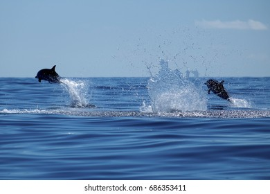 A huge amount of splashing announces the arrival of the striped dolphins, in Pico Island Azores.