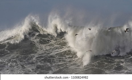 Huge Atlantic stormy breaking wave seeing seagulls in flight over it. Northern portuguese coast.