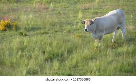 A huge aubrac cow