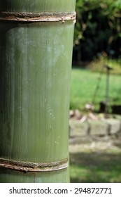 Huge bamboo stem(Dendrocalamus giganteus)