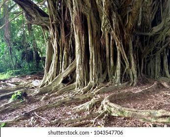 Huge banyan tree in Hawaiian jungle