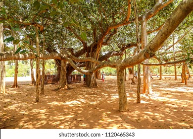 Huge banyan tree next to the Matrimandir, Auroville, Puducherry,