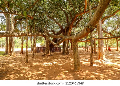 Huge banyan tree next to the Matrimandir, Auroville, Puducherry,