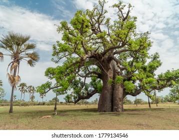 Huge baobab tree (adansonia digitata) the symbol of Senegal, Africa