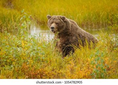 Huge bear in Brooks camp in Alaska