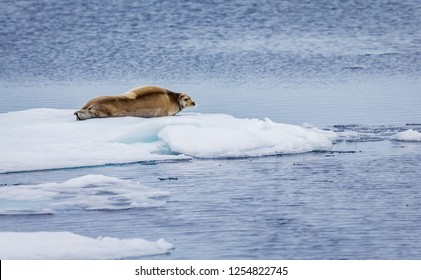 Huge bearded seal  rests on ice floe in Artic