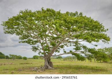 Huge beautiful tree in the middle of a pasture field in the countryside of Panama
