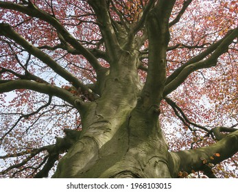 a huge beech with spread branches and red spring leaves