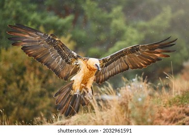 Huge bird of prey, Bearded vulture, Gypaetus barbatus or Lammergeier in full orange color plumage, landing with fully outstretched wings. Close up, direct view. Wild bird, Spanish Pyrenees, Spain.