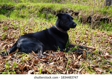 A huge black dog is guarding. The pet lies on the autumn foliage and gazes to the side