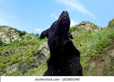 A huge black dog looks up at the beautiful sky and mountains