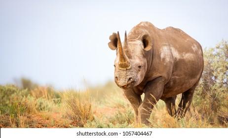 Huge black rhino female feeding