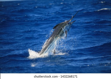 Huge Blue Marlin jumping off NSW Australia on sunny day