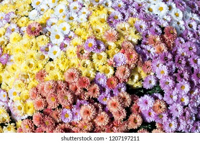A huge bouquet of flowers of yellow, white, red and lilac chrysanthemums. Chrysanthemums in autumn sunny day