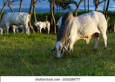 Huge brahman bull in a green pasture in Costa Rica