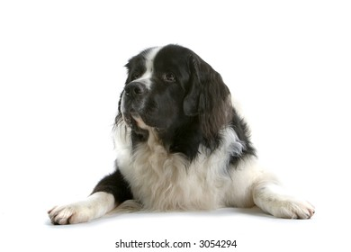 huge brown and white dog laying down