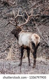 Huge bull Elk