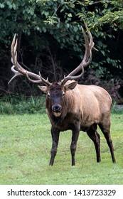 Huge bull elk photographed in Benezette, Pennsylvania.