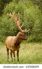 Huge bull elk standing in green grass and wildflowers with large antlers in full summer velvet