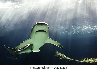 huge bull shark swimming