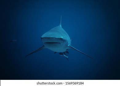 huge bull shark is swimming out of the blue head-on towards to the camera