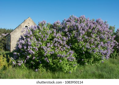 A huge bush of violet lilac in full bloom with an old house at the back