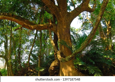 The huge camphor wood in the trees of the natural forest