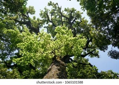 A huge cedar tree aged over a thousand years