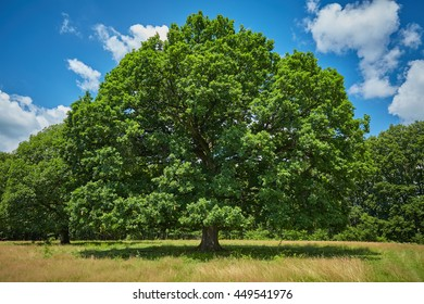 Huge centennial oak tree in front of the forest