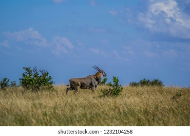 Huge common eland on African Savannah landscape