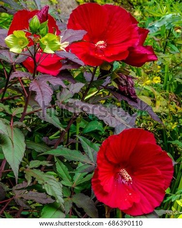 Huge Deep Red Hibiscus Flowers Against Stock Photo Edit Now