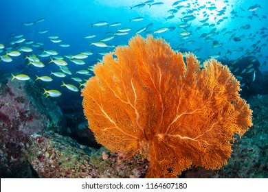 Huge, delicate Gorgonian Sea Fans on a colorful tropical coral reef