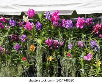 Huge display of hanging vanda orchids in bloom at a local plant sale.